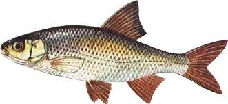 Techniques de pêche au vif