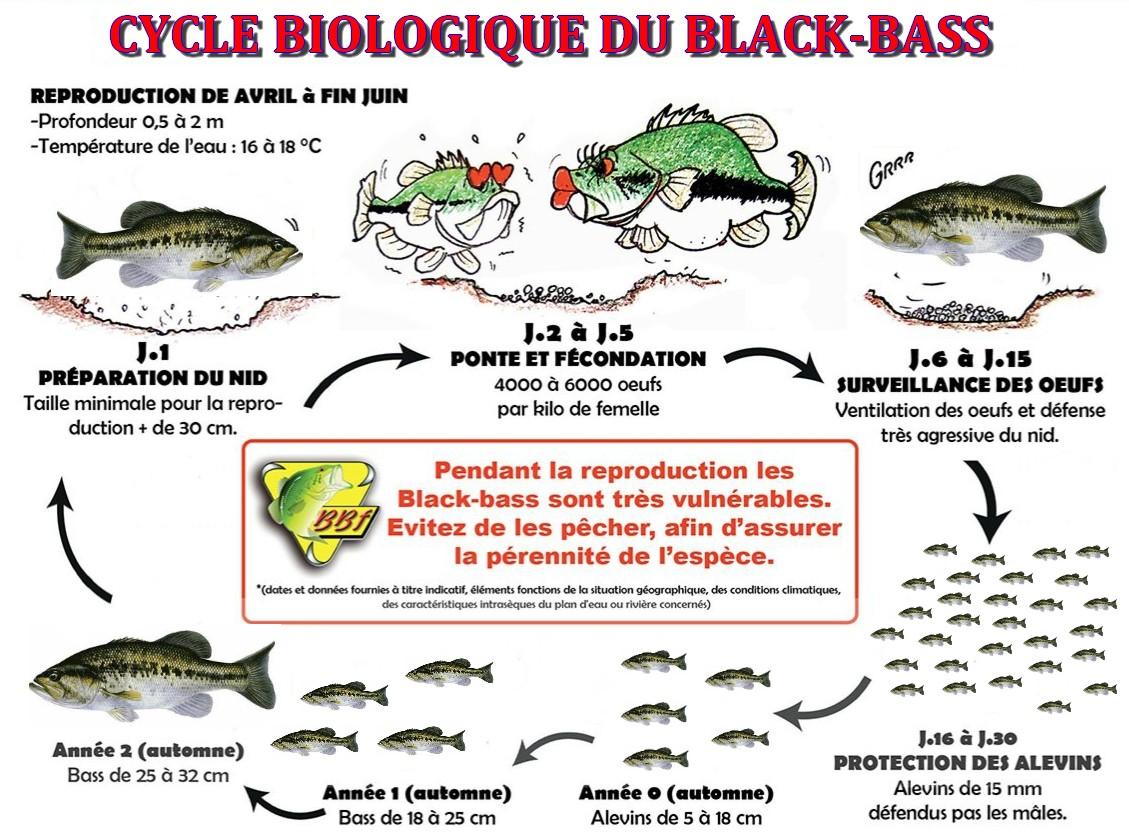 REPRODUCTION DU BLACK-BASS