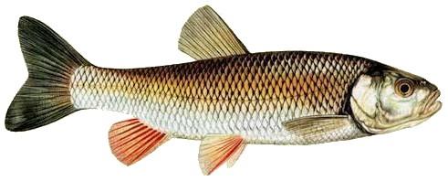 Qu'elle est ce poisson?